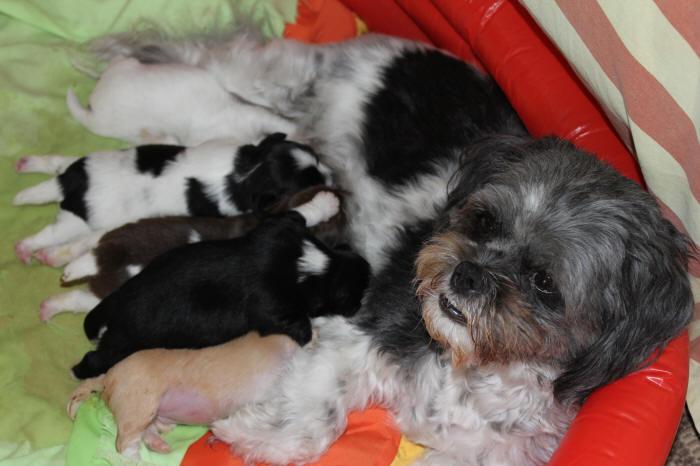 Maltese Shih Tzu Long Haired Chihuahua Pups For Sale Sunhine Coast Qld